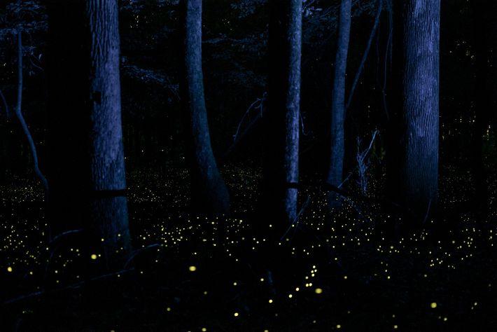 Glühwürmchen erhellen jedes Jahr im Mai das Unterholz des Congaree-Nationalparks in South Carolina und erzeugen mit ...