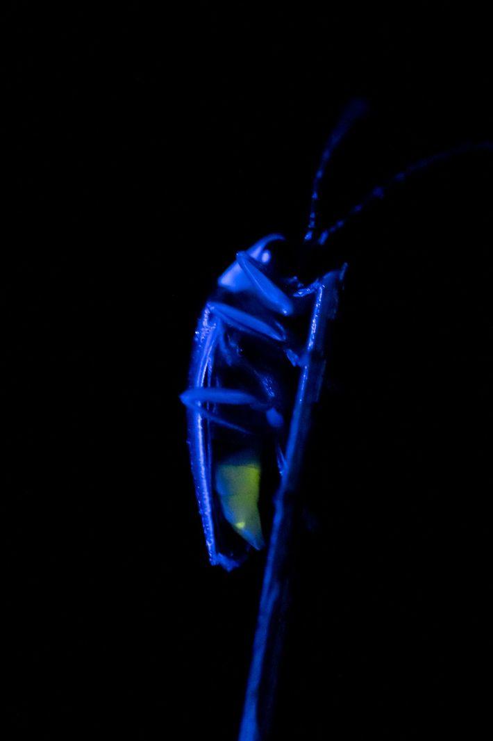 Neben ihrem synchronisierten Balzleuchten sind ihre großen Augen ein Faktor, der Photuris frontalis von anderen Glühwürmchen ...