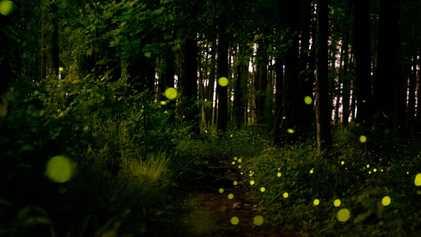USA: Glühwürmchen-Schauspiel in menschenleeren Wäldern