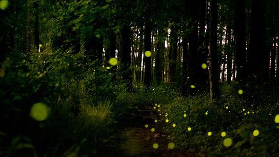 Glühwürmchen der Art Photuris frontalis erhellen jedes Jahr im Mai das Unterholz des Congaree-Nationalparks. Ihr schnelles, ...