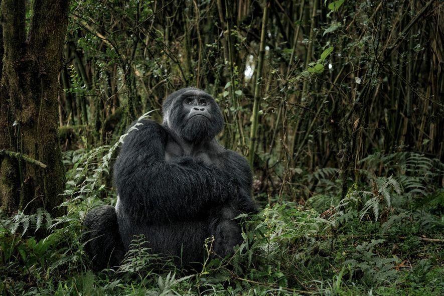 Mit seinen gewaltigen Vulkanen und fruchtbaren Regenwäldern ist der Nationalpark Virunga – Afrikas ältester Nationalpark – ...