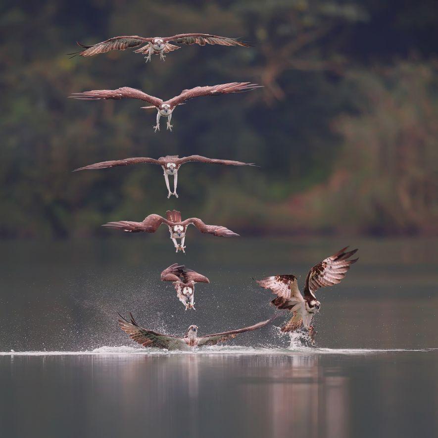 Sturzflug Fischadler