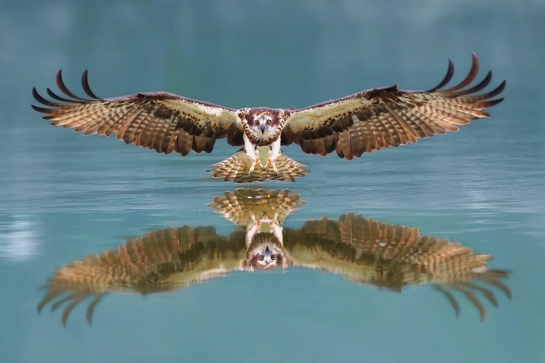 Fischadler gleitet über das Wasser