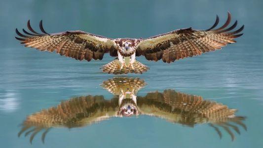 Atemberaubende Aufnahmen eines jagenden Fischadlers