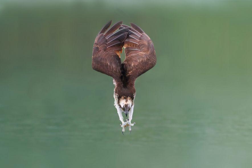 Fischadler im Sturzflug