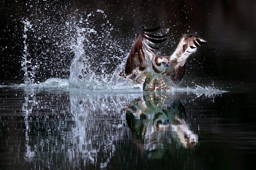Durchstarten: Nach dem Auftauchen stößt sich der Fischadler mit den Schwanzfedern auf dem Wasser ab.