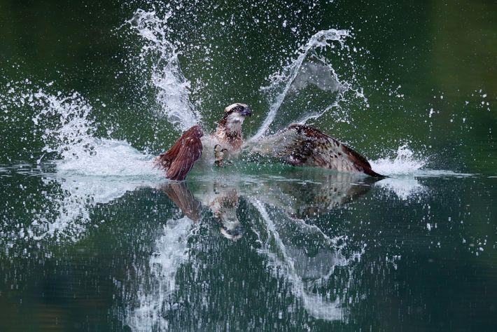Nach seinem gekonnten Sturzflug taucht der Fischadler wieder auf.