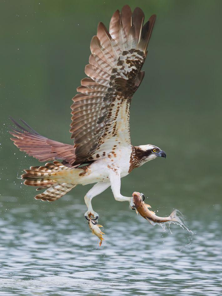Fischadler mit zwei Fischen