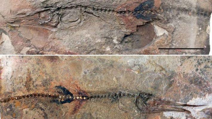 Zwei Seiten des neu entdeckten Fischfossils. Die zwei Gegenstücke sind in den Natursteinplatten des Klosters gut ...