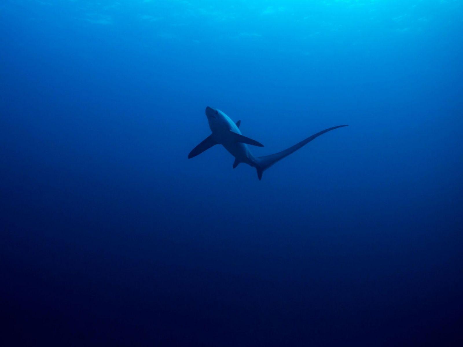 Fuchshai im Meer