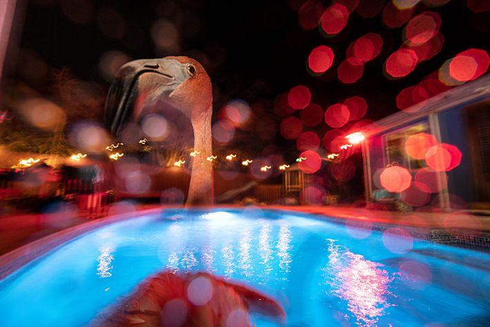 Der Flamingo Bob schwimmt nachts im Salzwasserpool hinter dem Haus seiner Retterin Odette Doest in Curaçao. ...