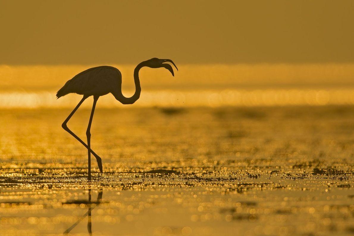 Ein einsamer Flamingo sucht im flachen Wasser nach Nahrung, während die Sonne am Horizont aufgeht