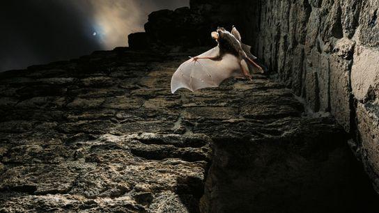 Großohr-Wollfledermaus