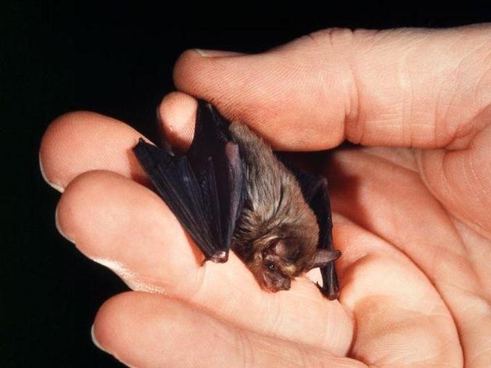 Die Schweinsnasenfledermaus (Craseonycteris thonglongyai) ist die kleinste Fledermaus der Welt.