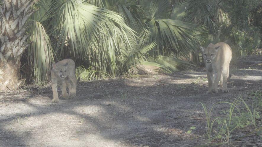 Florida-Puma mit Jungtier gefilmt