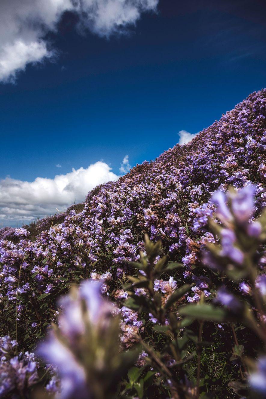 ERAVIKULAM-NATIONALPARK, INDIEN Wunderschöne, blau-violette Blüten bedecken die Hügel Südindiens einmal alle zwölf Jahre. Nun droht die ...