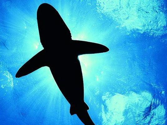 Galerie: Hochsee-Weißflossenhai: Der letzte seiner Art?