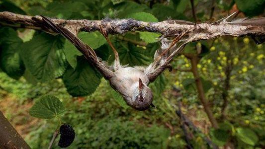 Singvögel - Flug in den Tod