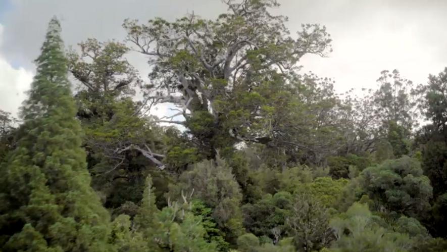 Mit seinen gut 50 Metern ist der Tāne Mahuta der größte noch lebende Baum Neuseelands.