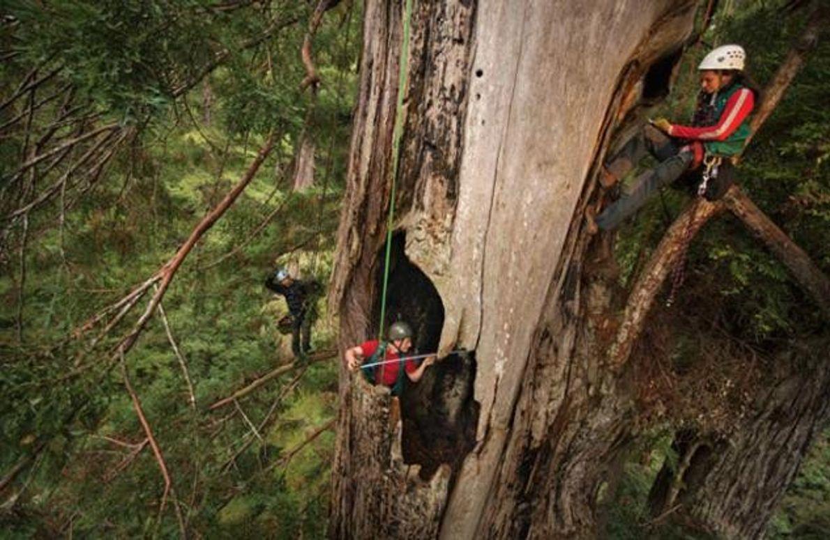 Forscher auf einem Redwood
