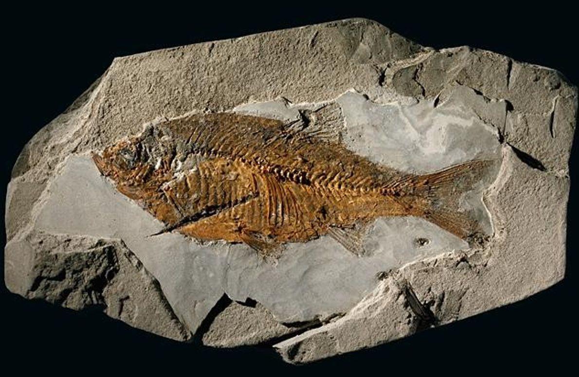 Fossil einer Rotfeder