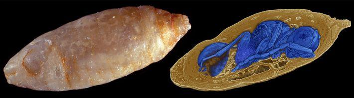 Röntgenbilder offenbarten die parasitären Wespen im inneren der versteinerten Fliegenpuppen und ermöglichten es den Forschern, die ...