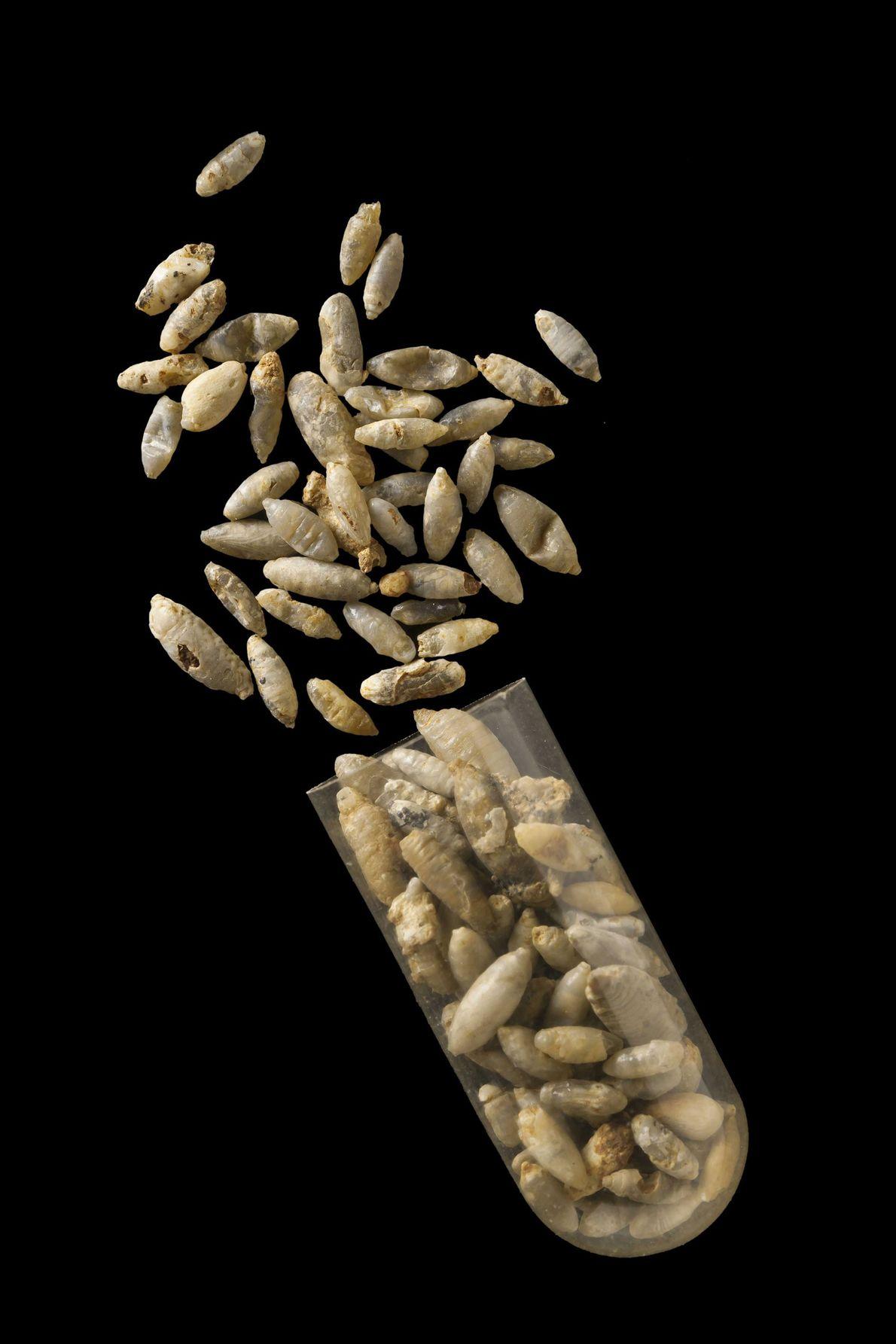 Forscher scannten mehr als 1.500 Fliegenpuppen. In 55 davon hatten sich vor etwa 35 Millionen Jahren ...