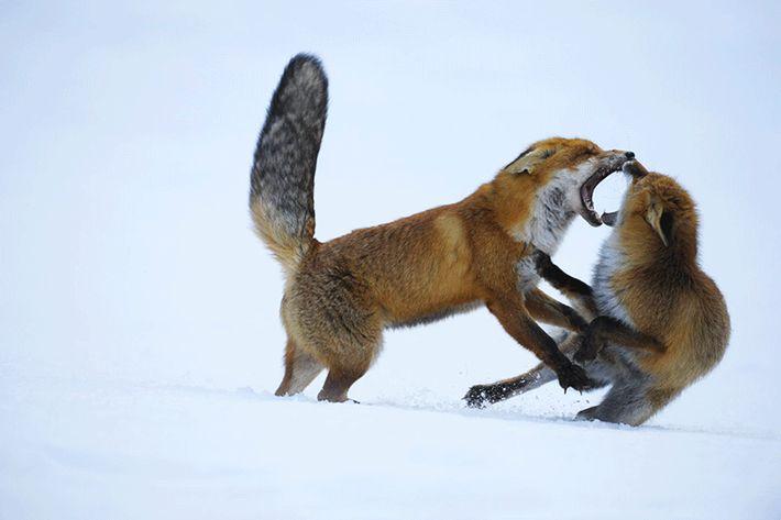 Zwei Füchse bei einer aggressiven Auseinandersetzung. Im Winter, wenn die Paarungszeit näher rückt, kommen solche Streitereien ...