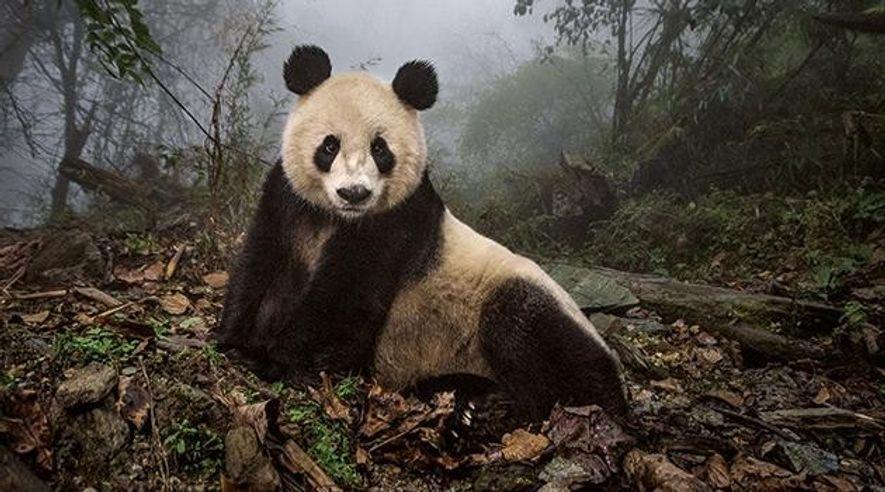 China: Freiheit für die Pandas