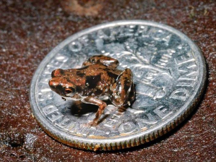 Paedophryne amauensis sitzt auf einer US-amerikanischen 10-Cent-Müze (ein Dime), die nur wenig kleiner als eine 2-Eurocent-Münze ...