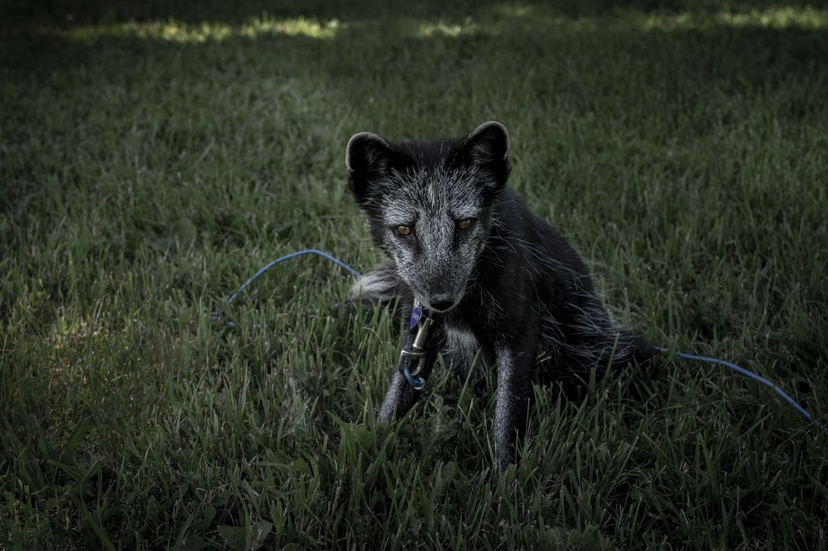 Foxx Foxington ist ein Polarfuchs und kann auch mal aggressiv werden. Deshalb darf er manchmal nur ...