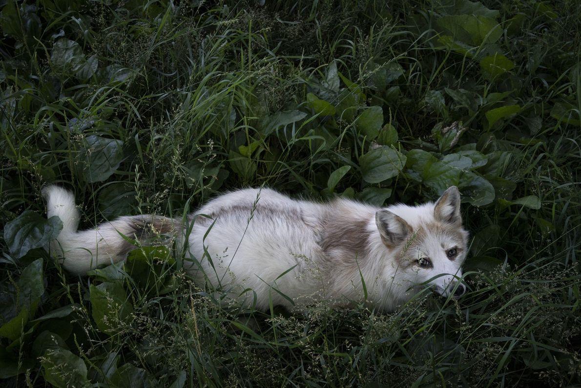Banjo wurde als Haustier gehalten, bevor ihn seine ehemaligen Besitzer bei Save a Fox abgegeben haben. ...