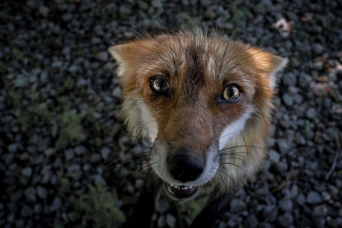 Der Rotfuchs Queen Dixie schaut in die Kamera und bettelt um Leckerlis. Die Füchse wissen genau, ...