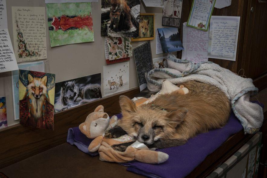 Raines hat ihren geliebten Fuchs Farah ausstopfen lassen. Das Tier hat einen festen Platz in ihrem ...