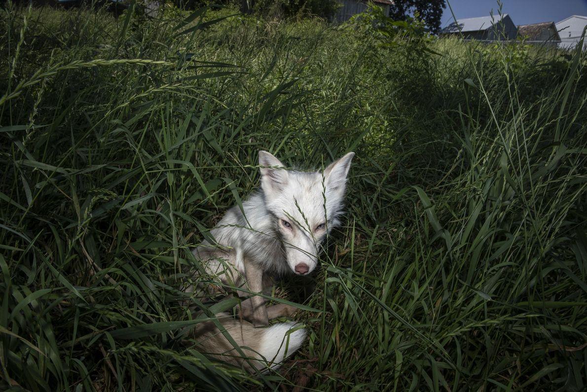 Obwohl sie lichtempfindlich ist, die Rowyn ein besonders aktiver Fuchs. Sie spielt und tollt ausgelassen, quiekt ...