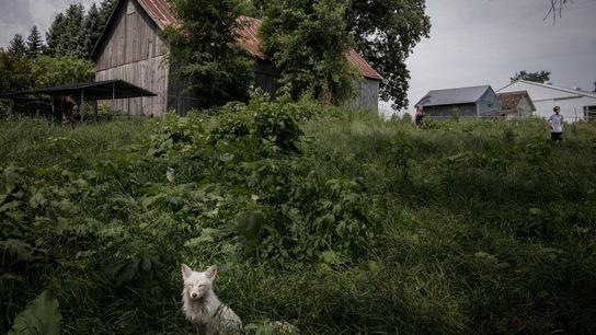 Ein weißer Fuchs namens Rowyn genießt die Sonne vor der Scheune von Save a Fox. Mikayla ...