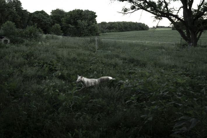 In der Dämmerung läuft die Rotfüchsin Rowyn, die durch gezielte Züchtung weißes Fell hat, verspielt durch ...