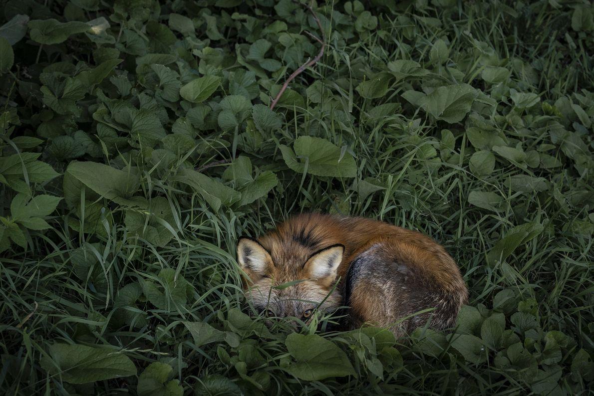 Viele der Füchse, darunter auch Thystle, überstehen die Hitze des Tages am liebsten eingerollt im kühlen ...