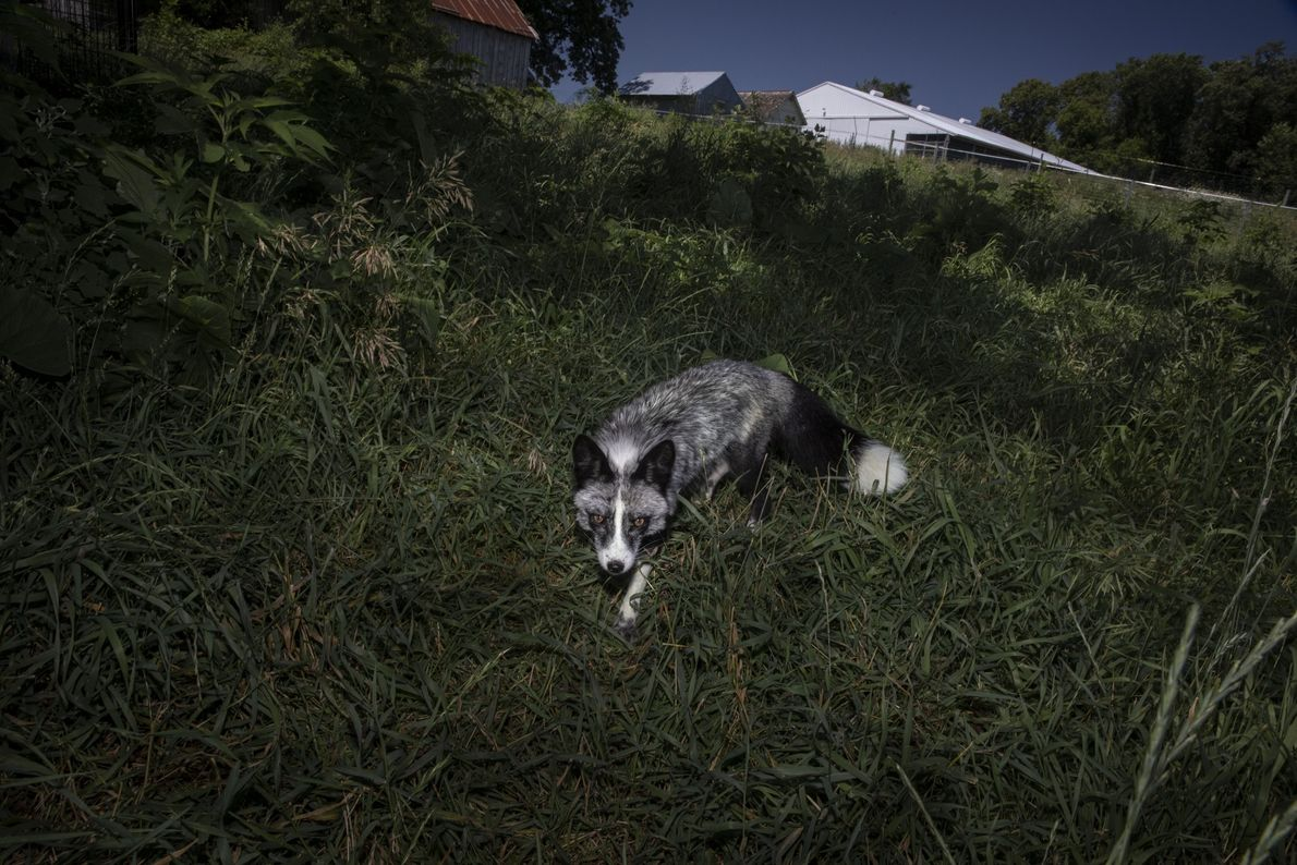 """Tonia ist einer der selbstbewusstesten Füchse bei Save a Fox. """"Tonia hat mir beigebracht, das Trockenfleisch ..."""