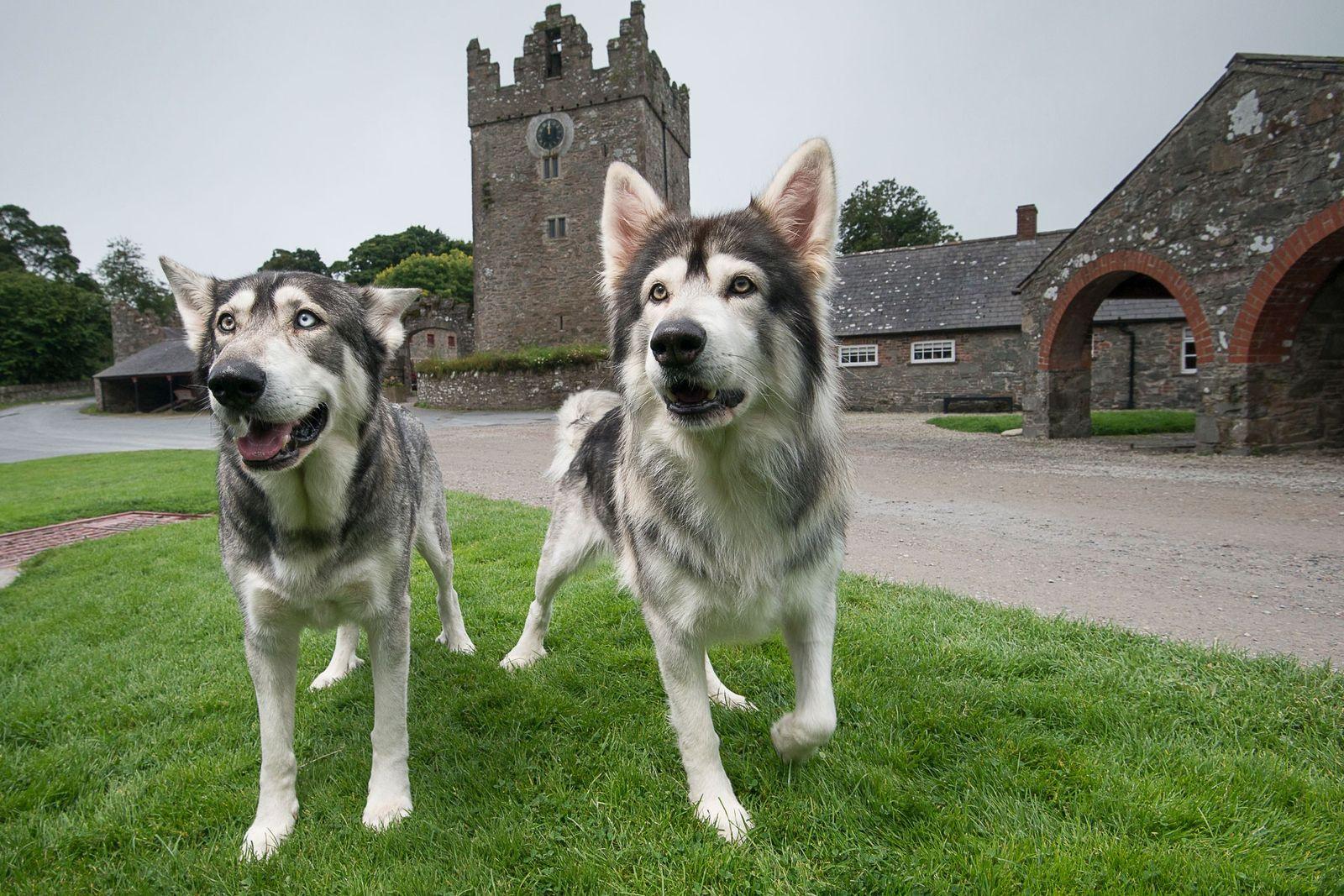 Odin und Thor sind zwei Northern Inuit Dogs. Die Hunderasse wurde unter anderem aus Siberian Huskys ...