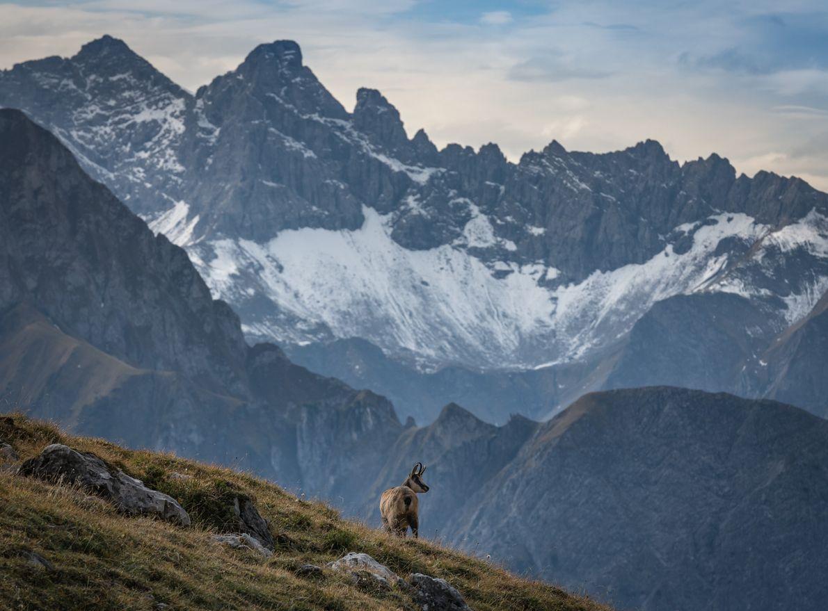 Eine Gams in den Alpen