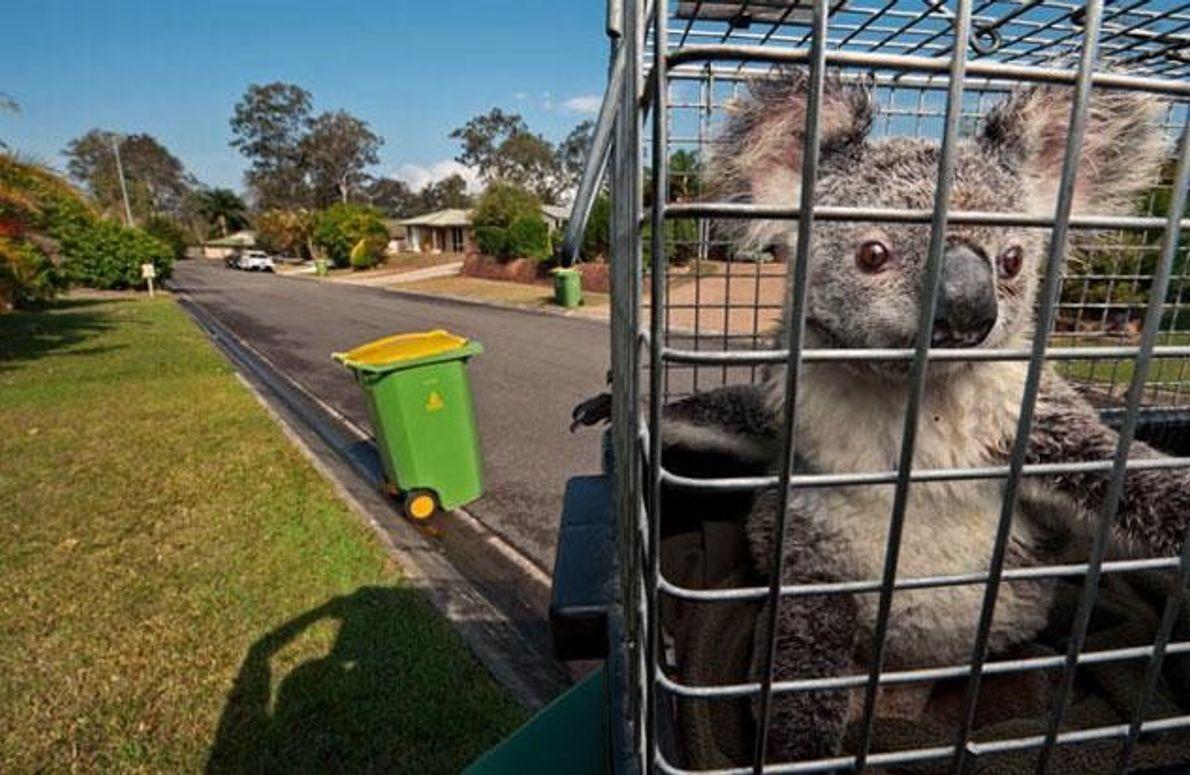 Gefangener Koala