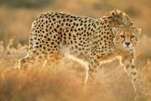 "Gepard ""Koshki"""