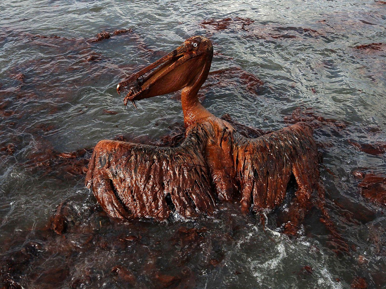 Pelikan verklebt mit Öl