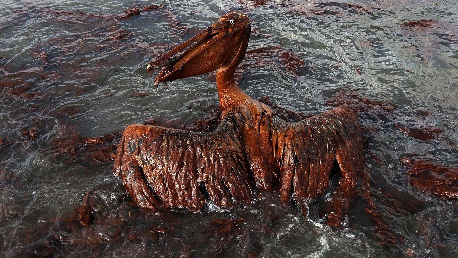 Das Gefieder dieses Braunpelikans auf East Grand Terre Island in Louisiana ist von Öl verklebt. 4. ...