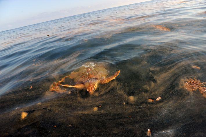 Eine Unechte Karettschildkröte frisst am 5. Mai 2010 eine ölverseuchte Portugiesische Galeere im Golf von Mexiko.