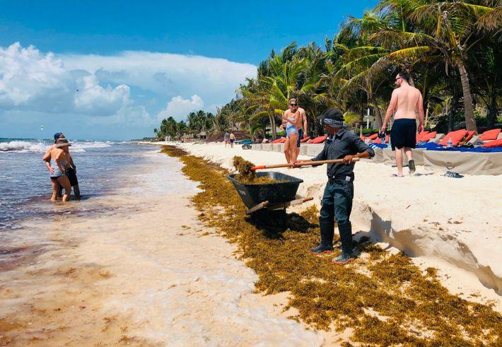 Arbeiter entfernen im Mai 2019 Golftange von einem Strand in der Nähe von Tulum auf der ...