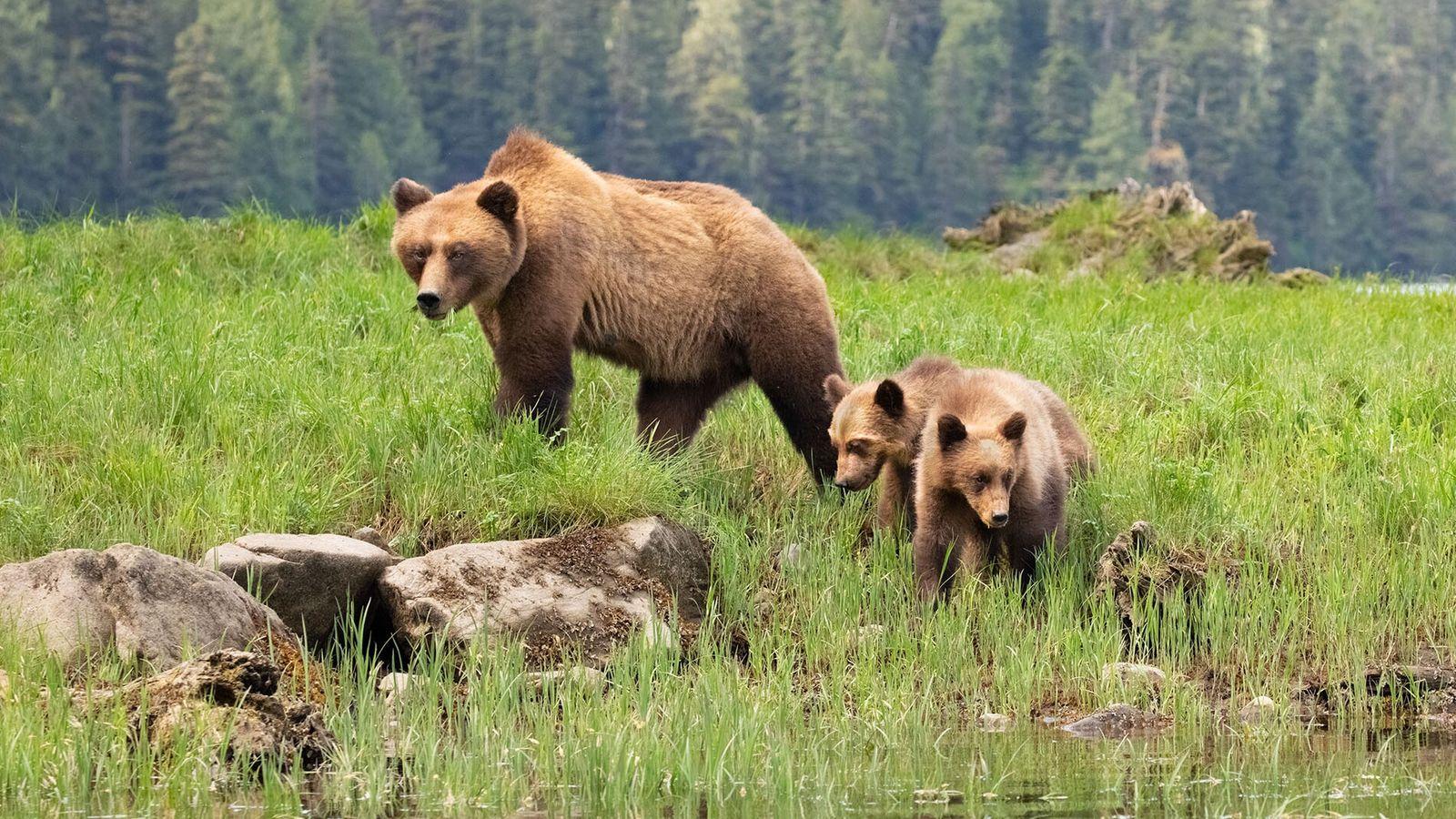 Das Gebiet ist Lebensraum für eine der größten Grizzlybär-Populationen in British Columbia. Die beste Zeit, um ...