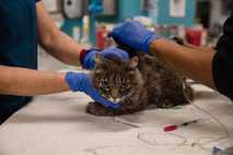 Eine Hauskatze wird am 21. April 2020 in einer Klinik der San Diego Humane Society untersucht. ...