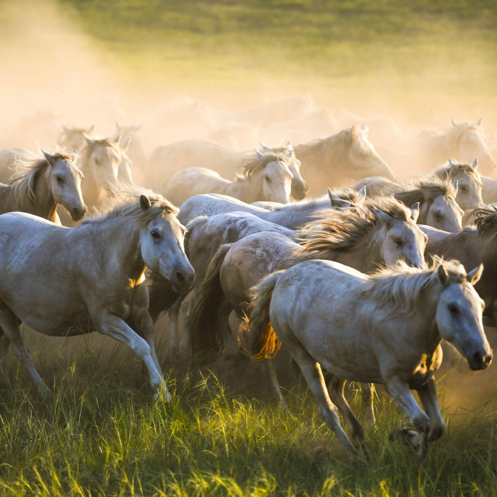 Galoppierende Pferde in einem Zuchtbetrieb im Westlichen Ujimqin-Banner in der Inneren Mongolei.